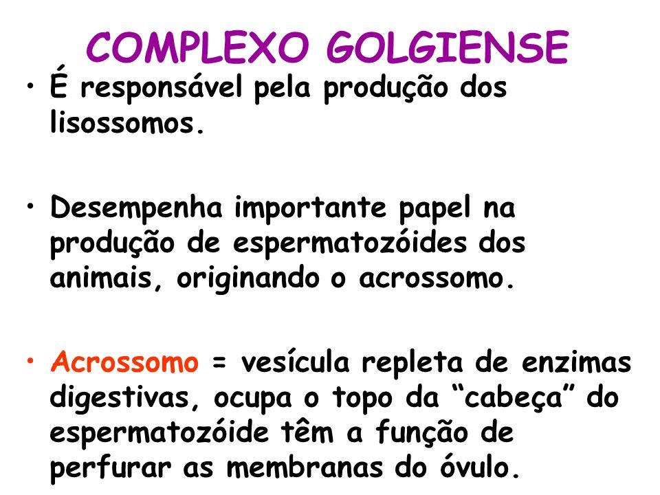 COMPLEXO GOLGIENSE É responsável pela produção dos lisossomos. Desempenha importante papel na produção de espermatozóides dos animais, originando o ac