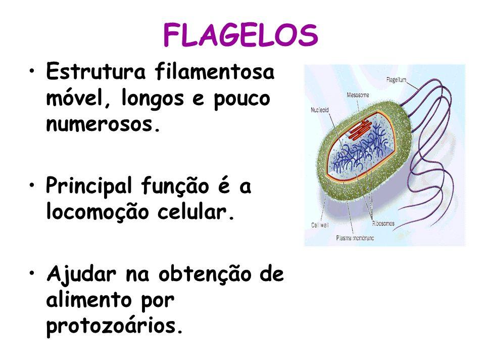 FLAGELOS Estrutura filamentosa móvel, longos e pouco numerosos. Principal função é a locomoção celular. Ajudar na obtenção de alimento por protozoário