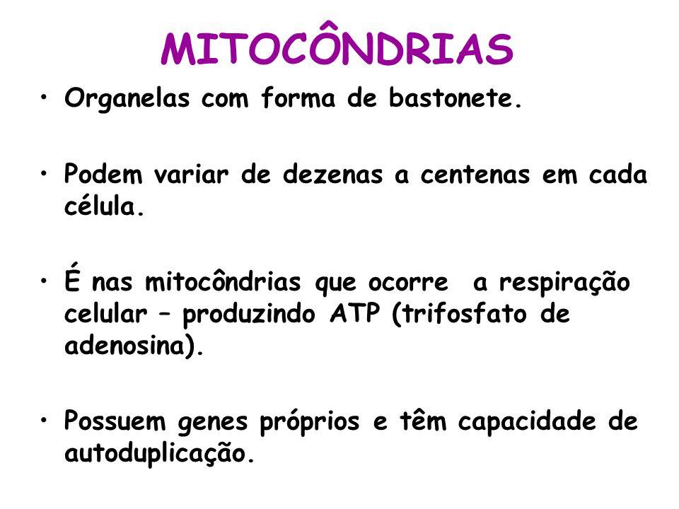 MITOCÔNDRIAS Organelas com forma de bastonete. Podem variar de dezenas a centenas em cada célula. É nas mitocôndrias que ocorre a respiração celular –