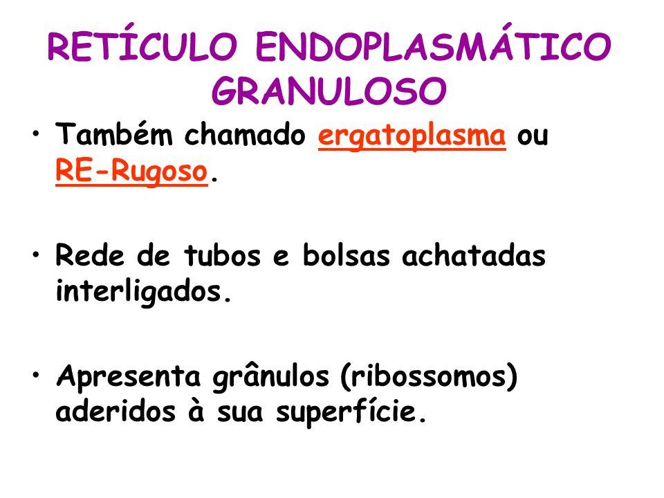 Também chamado ergatoplasma ou RE-Rugoso. Rede de tubos e bolsas achatadas interligados. Apresenta grânulos (ribossomos) aderidos à sua superfície.
