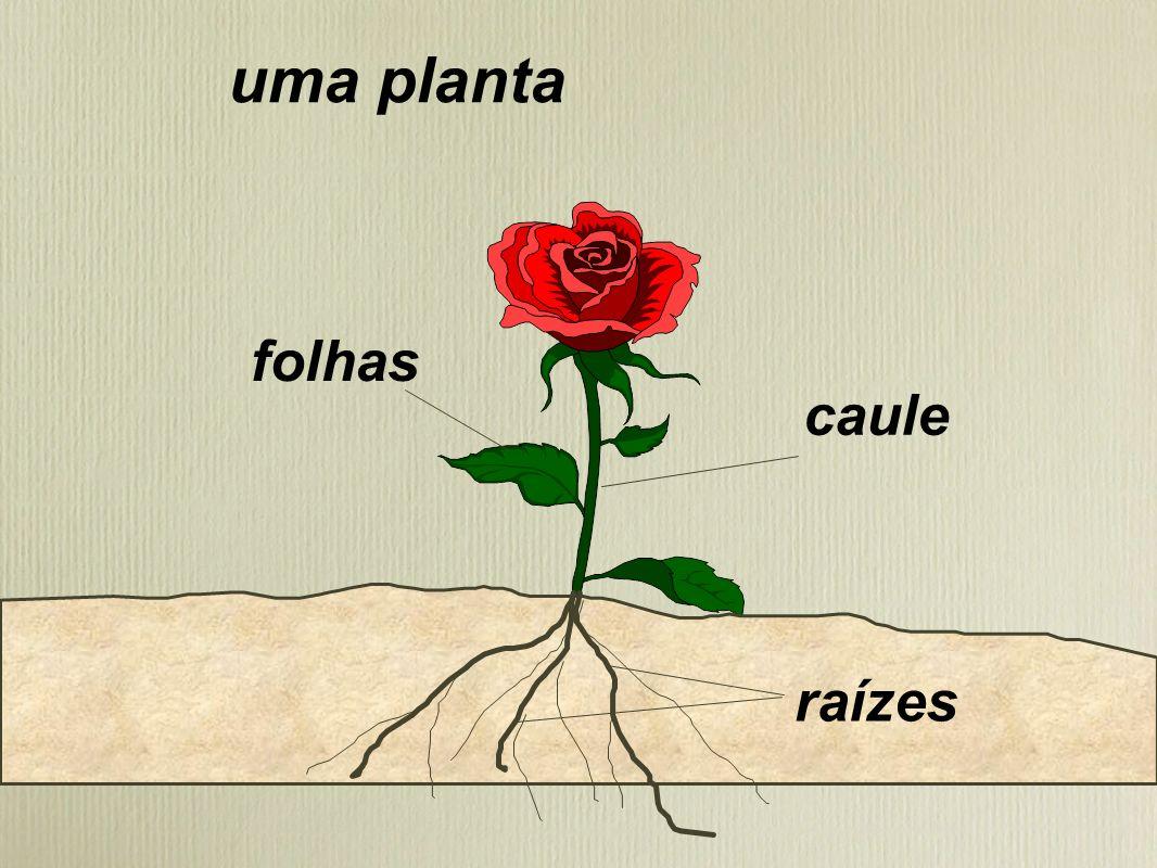 folhas caule raízes uma planta