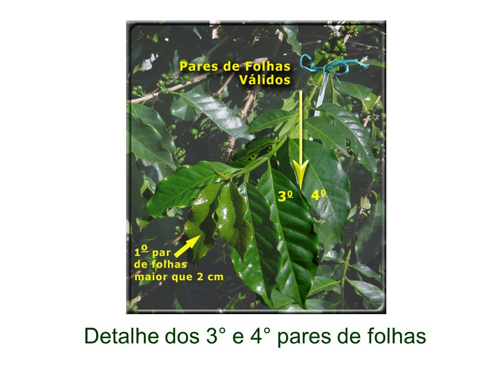 Detalhe dos 3° e 4° pares de folhas
