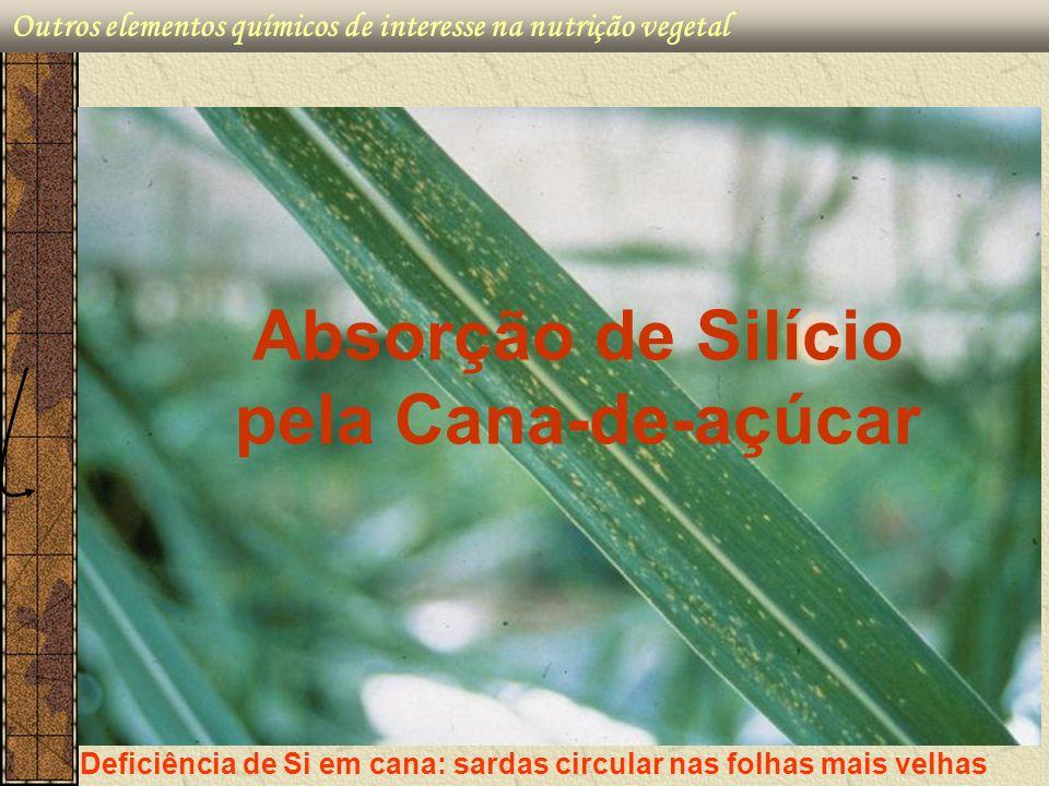 Deficiência de Si em cana: sardas circular nas folhas mais velhas Absorção de Silício pela Cana-de-açúcar
