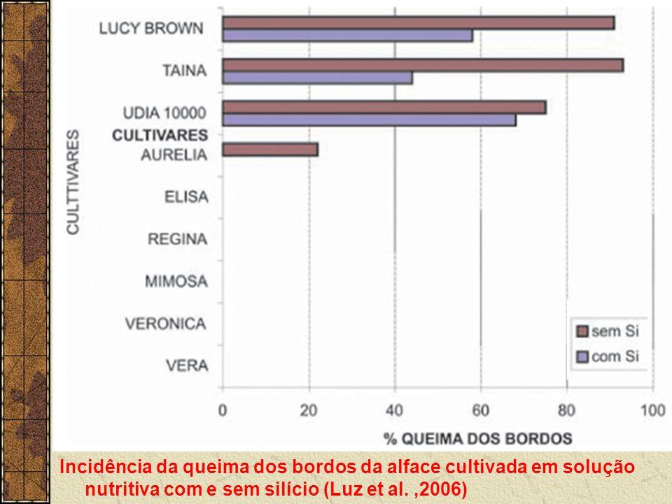 Incidência da queima dos bordos da alface cultivada em solução nutritiva com e sem silício (Luz et al.,2006)