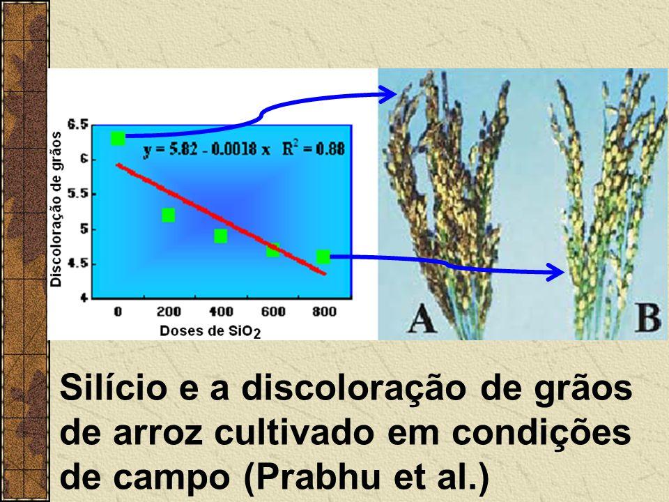 Silício e a discoloração de grãos de arroz cultivado em condições de campo (Prabhu et al.)