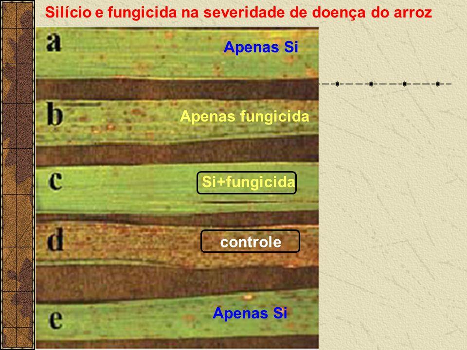 Apenas Si Si+fungicida controle Apenas fungicida Silício e fungicida na severidade de doença do arroz