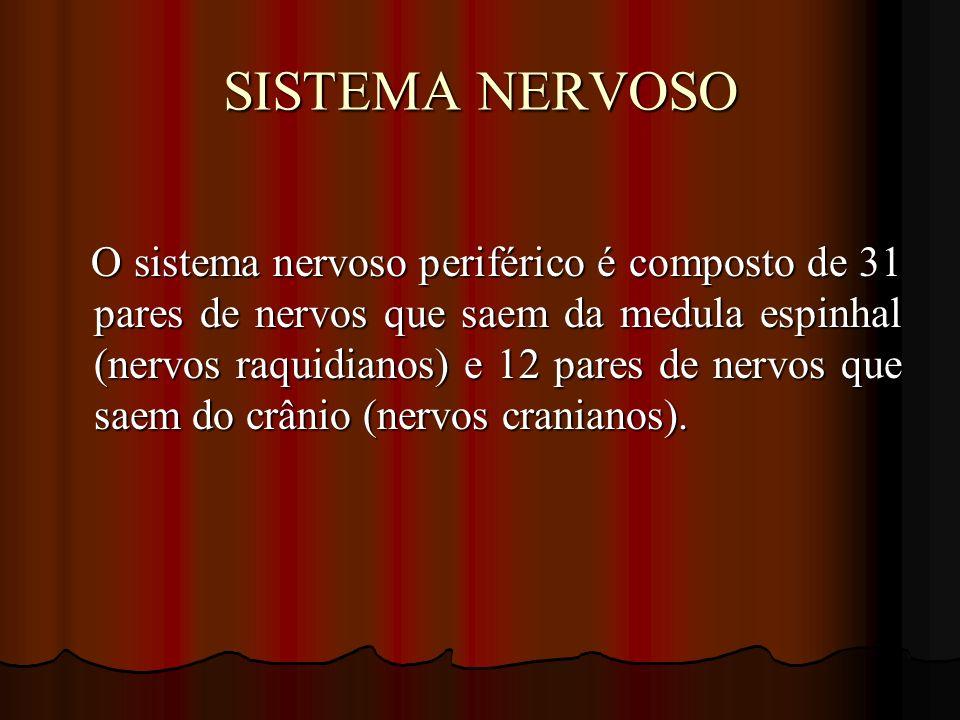SISTEMA NERVOSO O sistema nervoso periférico é composto de 31 pares de nervos que saem da medula espinhal (nervos raquidianos) e 12 pares de nervos qu