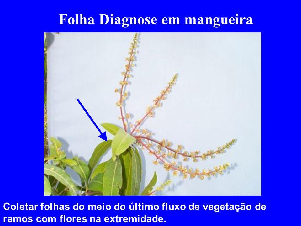 Folha Diagnose em mangueira Coletar folhas do meio do último fluxo de vegetação de ramos com flores na extremidade.