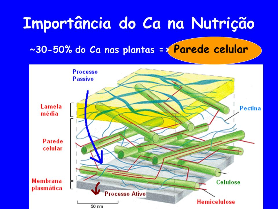 Importância do Ca na Nutrição ~30-50% do Ca nas plantas => Parede celular