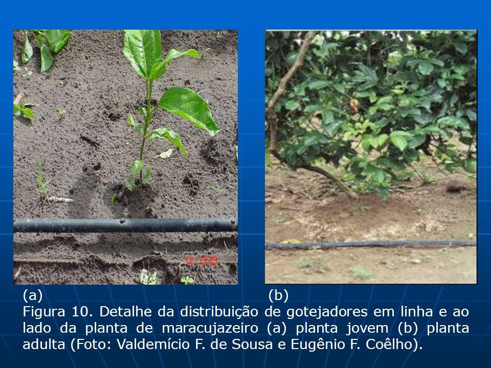 (a) (b) Figura 10. Detalhe da distribuição de gotejadores em linha e ao lado da planta de maracujazeiro (a) planta jovem (b) planta adulta (Foto: Vald