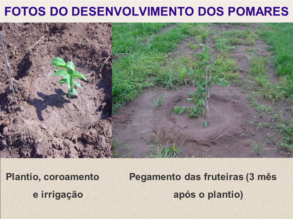 FOTOS DO DESENVOLVIMENTO DOS POMARES Plantio, coroamento e irrigação Pegamento das fruteiras (3 mês após o plantio)