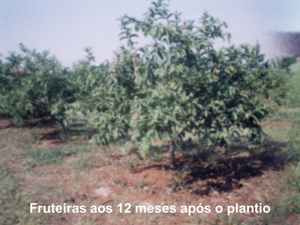 Fruteiras aos 12 meses após o plantio