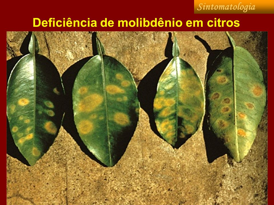 Deficiência de molibdênio em citros Sintomatologia