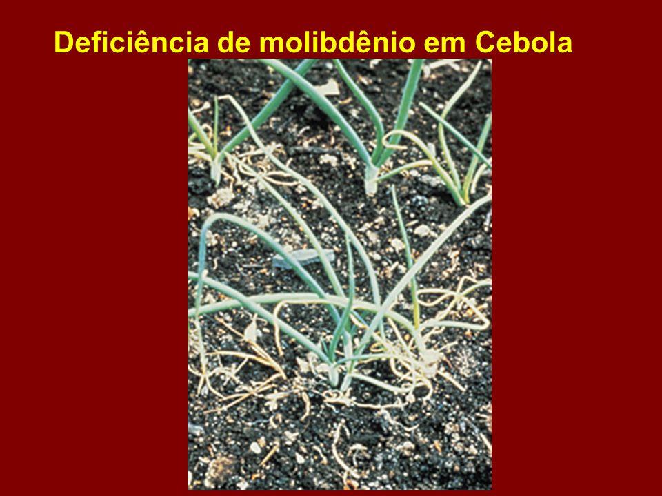 Deficiência de molibdênio em Cebola