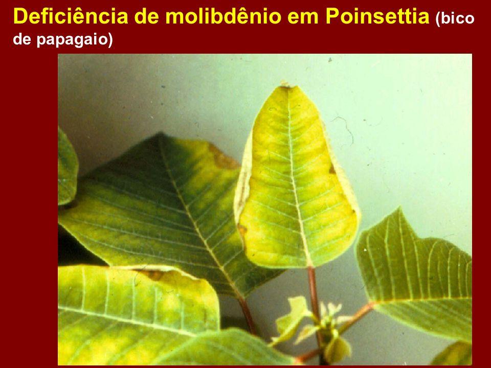 Deficiência de molibdênio em Poinsettia (bico de papagaio)