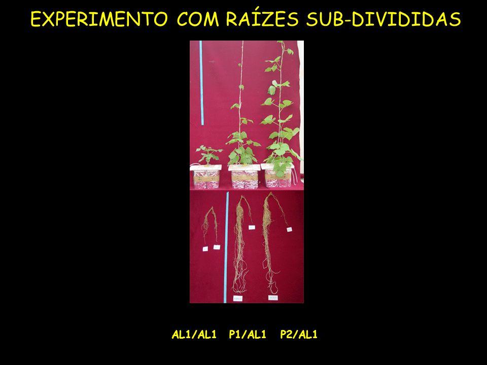 AL1/AL1P1/AL1P2/AL1 EXPERIMENTO COM RAÍZES SUB-DIVIDIDAS
