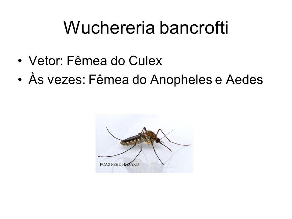Wuchereria bancrofti Vetor: Fêmea do Culex Às vezes: Fêmea do Anopheles e Aedes