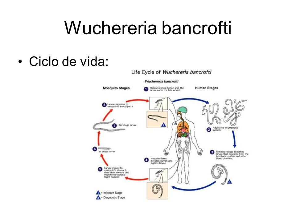 Wuchereria bancrofti Ciclo de vida:
