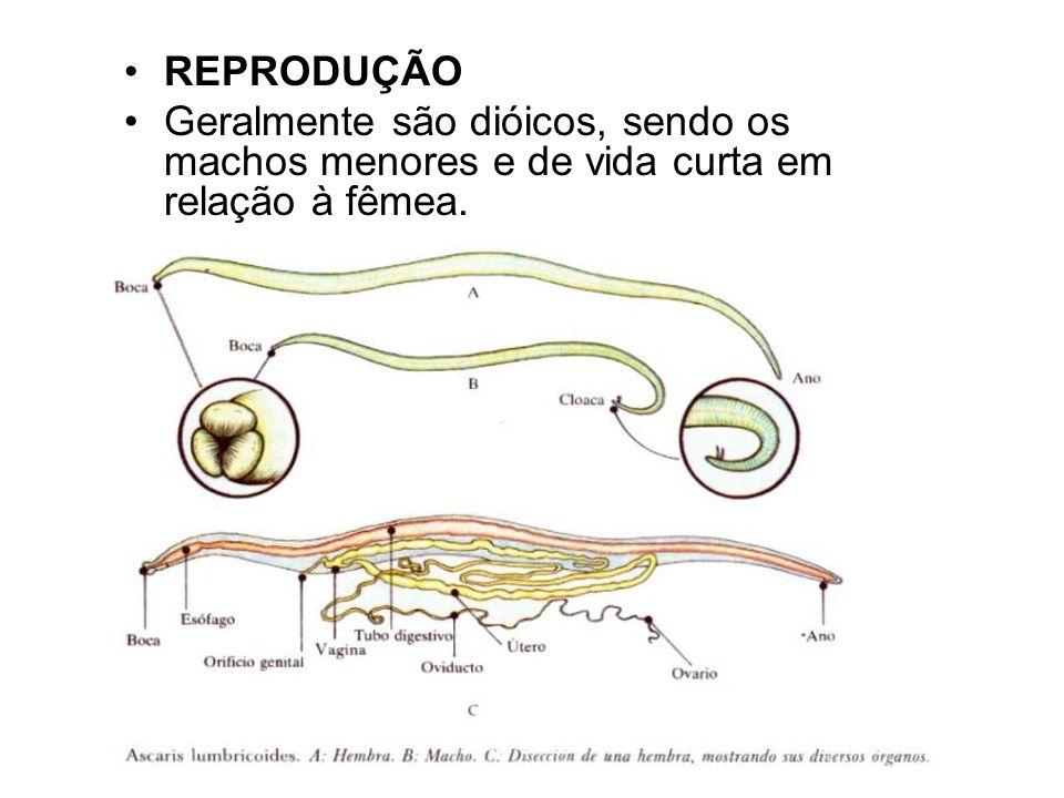 Ascaris lumbricoides Morfologia:
