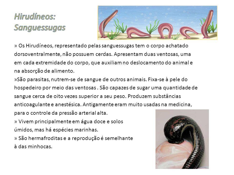 » Os Hirudíneos, representado pelas sanguessugas tem o corpo achatado dorsoventralmente, não possuem cerdas. Apresentam duas ventosas, uma em cada ext