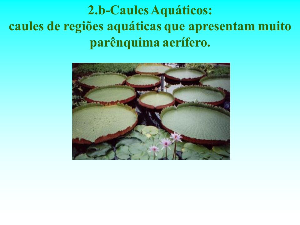 2.b-Caules Aquáticos: caules de regiões aquáticas que apresentam muito parênquima aerífero.