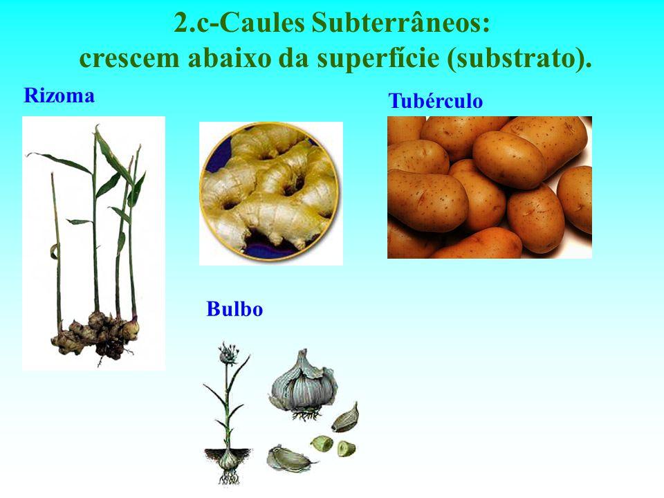 2.c-Caules Subterrâneos: crescem abaixo da superfície (substrato). Rizoma Tubérculo Bulbo