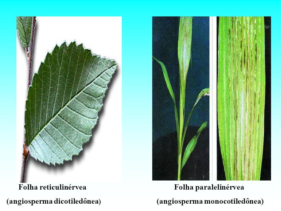 Folha reticulinérvea (angiosperma dicotiledônea ) Folha paralelinérvea (angiosperma monocotiledônea)