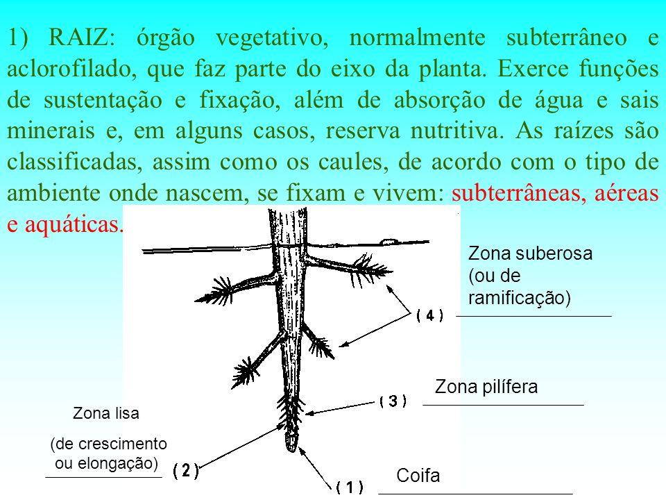 1) RAIZ: órgão vegetativo, normalmente subterrâneo e aclorofilado, que faz parte do eixo da planta. Exerce funções de sustentação e fixação, além de a