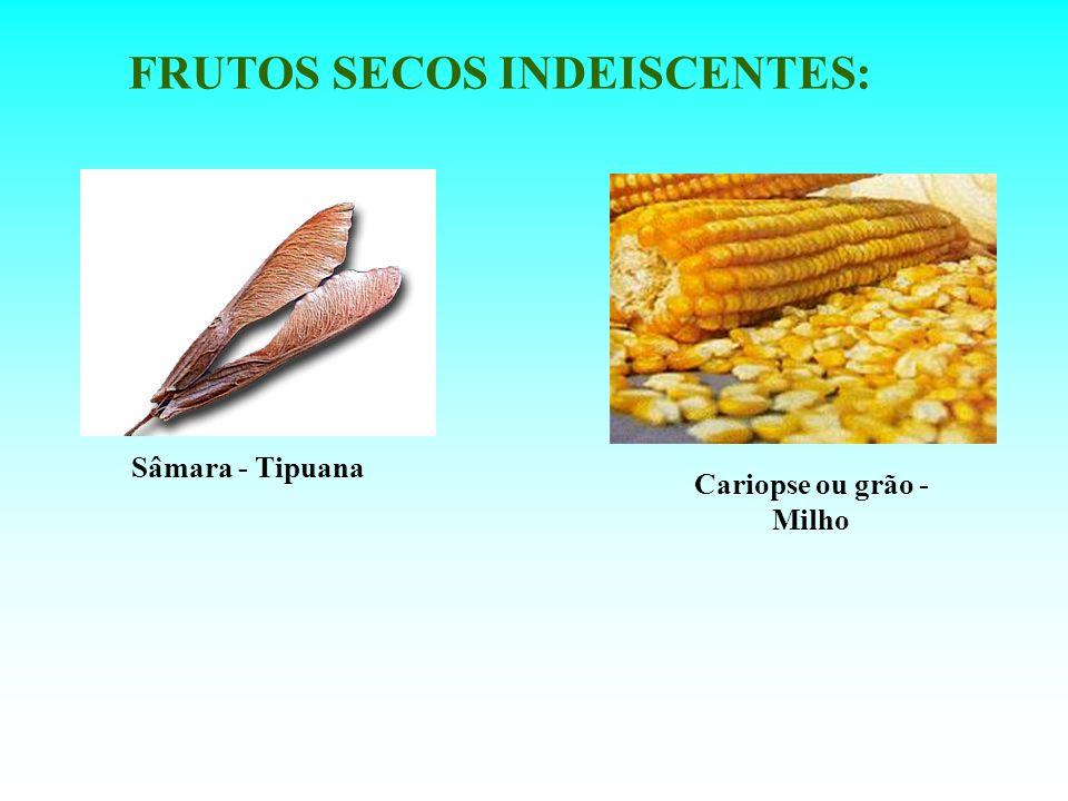 FRUTOS SECOS INDEISCENTES: Cariopse ou grão - Milho Sâmara - Tipuana