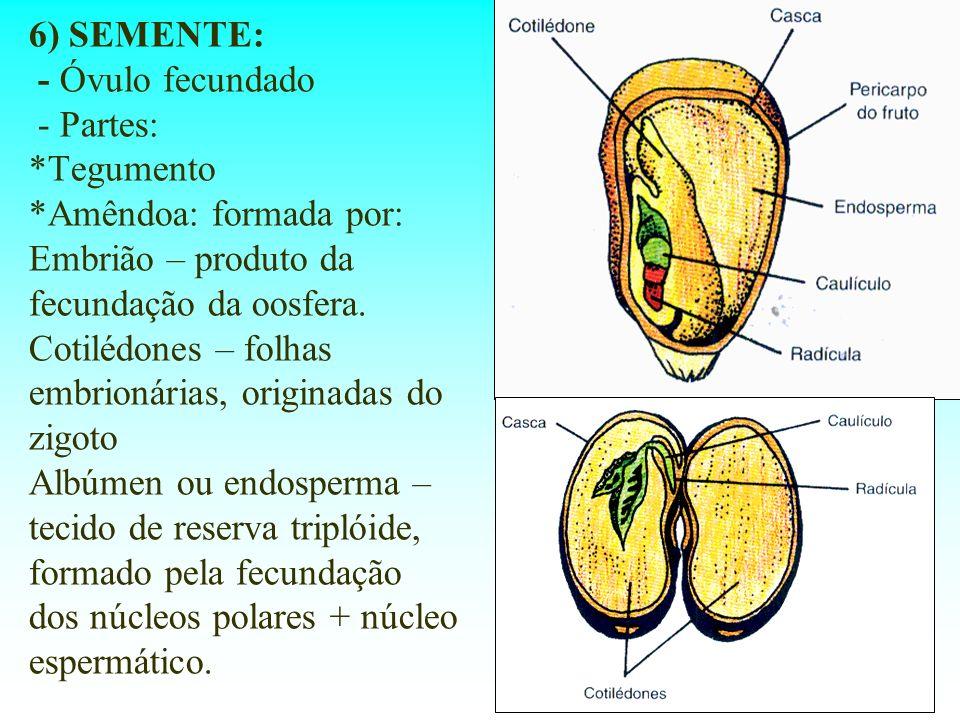 6) SEMENTE: - Óvulo fecundado - Partes: *Tegumento *Amêndoa: formada por: Embrião – produto da fecundação da oosfera. Cotilédones – folhas embrionária