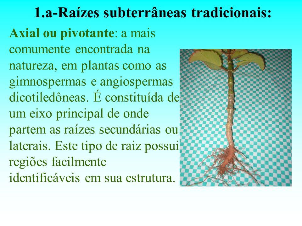 1.a-Raízes subterrâneas tradicionais: Axial ou pivotante: a mais comumente encontrada na natureza, em plantas como as gimnospermas e angiospermas dico
