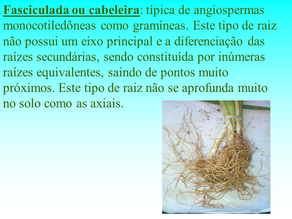 Fasciculada ou cabeleira: típica de angiospermas monocotiledôneas como gramíneas. Este tipo de raiz não possui um eixo principal e a diferenciação das
