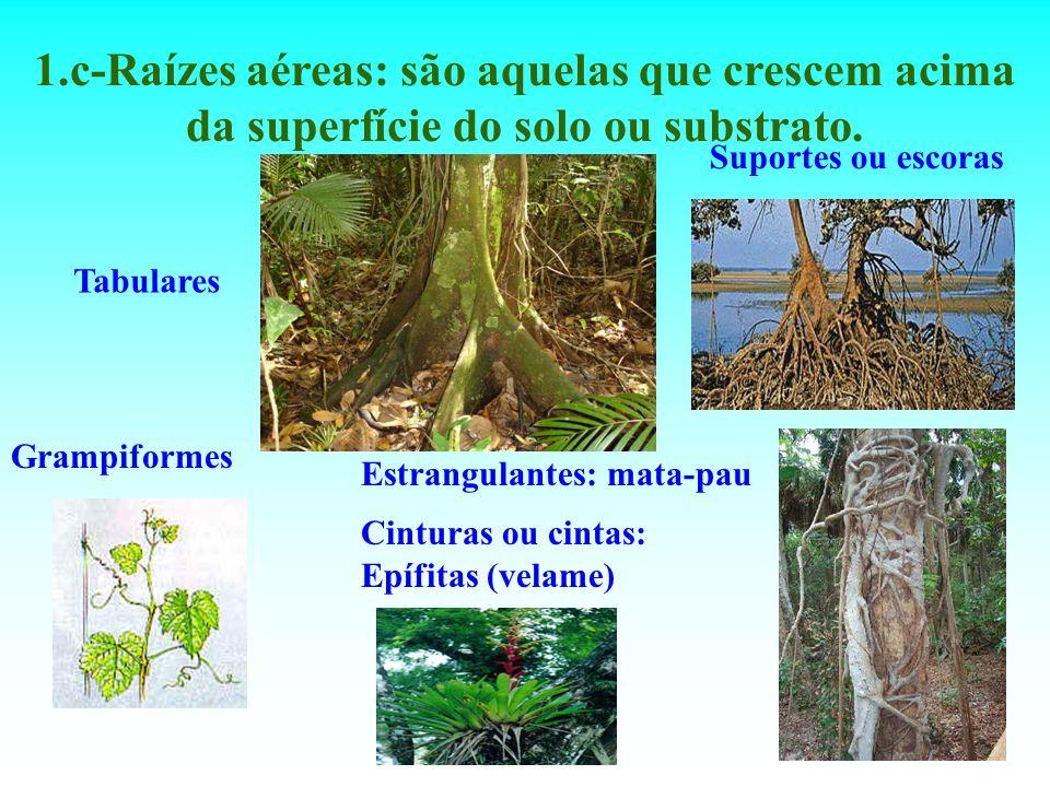 1.c-Raízes aéreas: são aquelas que crescem acima da superfície do solo ou substrato. Tabulares Suportes ou escoras Cinturas ou cintas: Epífitas (velam