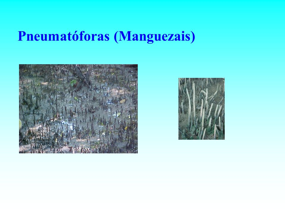Pneumatóforas (Manguezais)