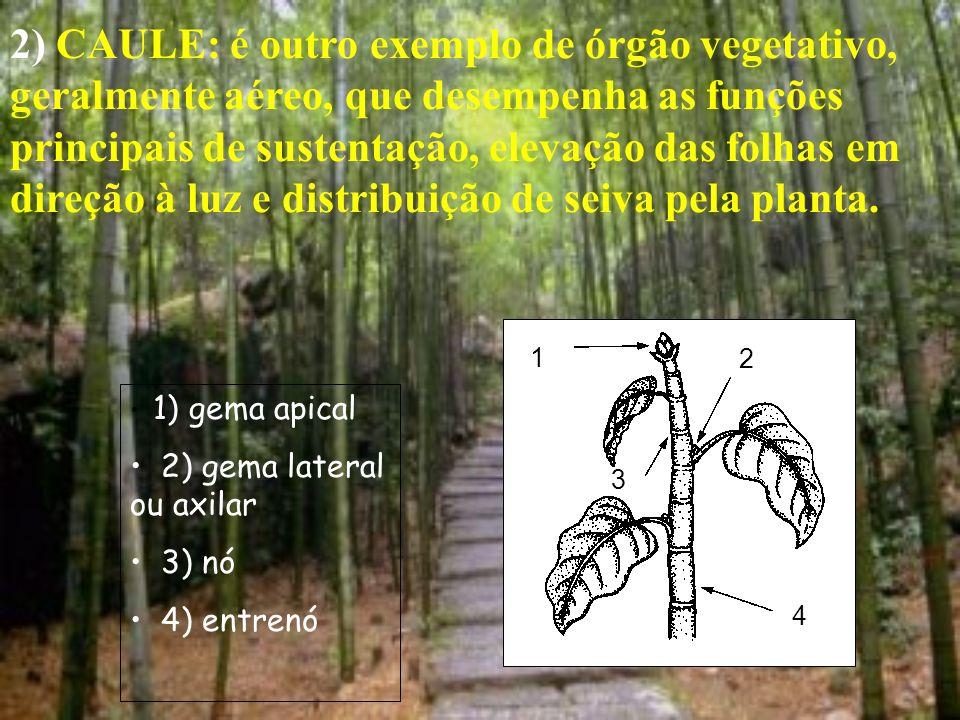 2) CAULE: é outro exemplo de órgão vegetativo, geralmente aéreo, que desempenha as funções principais de sustentação, elevação das folhas em direção à