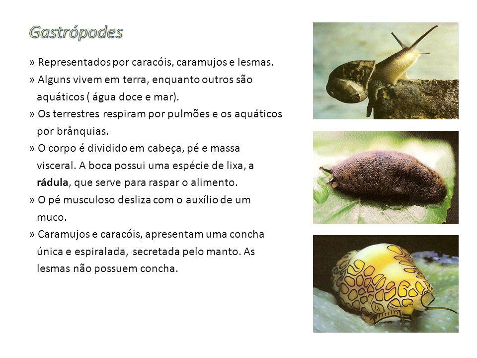 » Representados por caracóis, caramujos e lesmas. » Alguns vivem em terra, enquanto outros são aquáticos ( água doce e mar). » Os terrestres respiram
