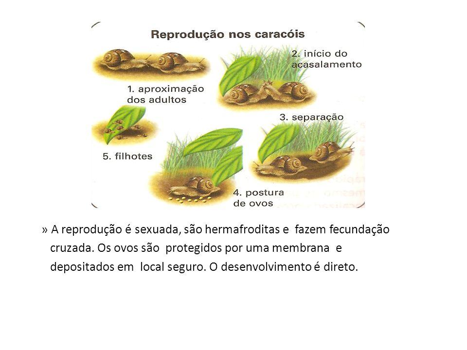 » A reprodução é sexuada, são hermafroditas e fazem fecundação cruzada. Os ovos são protegidos por uma membrana e depositados em local seguro. O desen