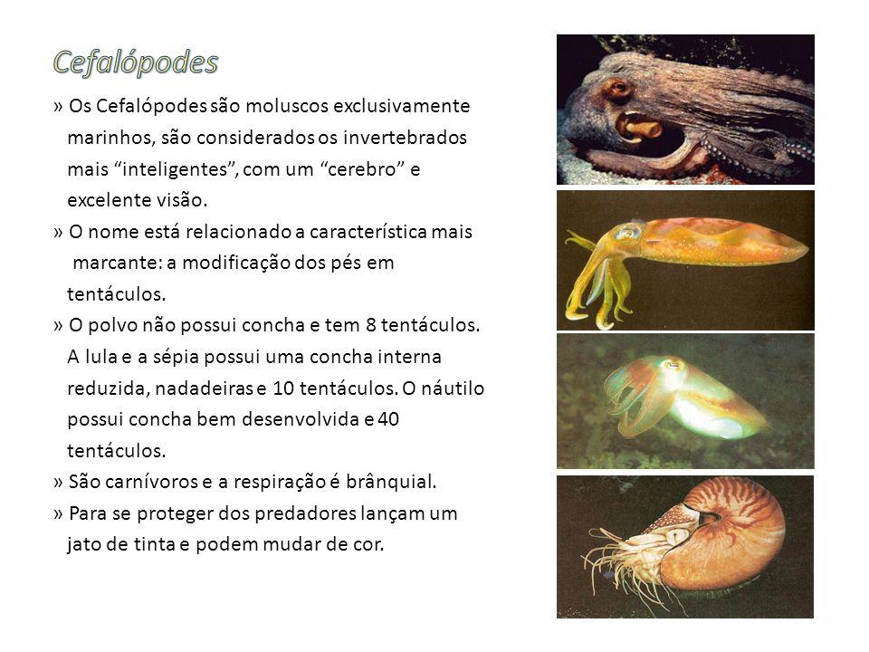 » Os Cefalópodes são moluscos exclusivamente marinhos, são considerados os invertebrados mais inteligentes, com um cerebro e excelente visão. » O nome