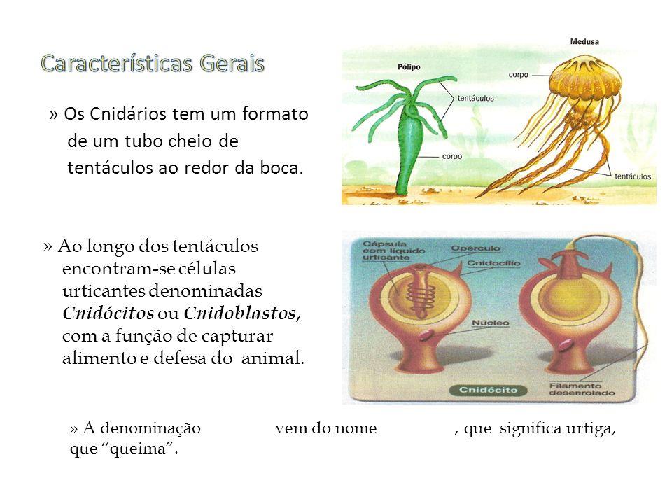 » Apresentam duas formas; Pólipos e Medusas.