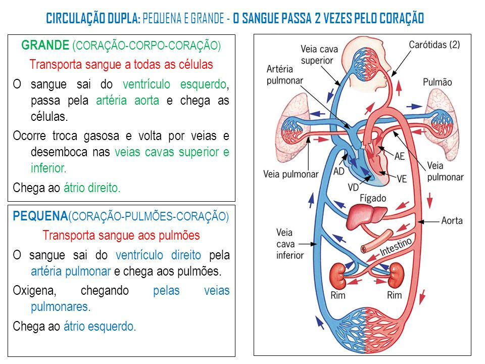 GRANDE ( CORAÇÃO-CORPO-CORAÇÃO) Transporta sangue a todas as células O sangue sai do ventrículo esquerdo, passa pela artéria aorta e chega as células.