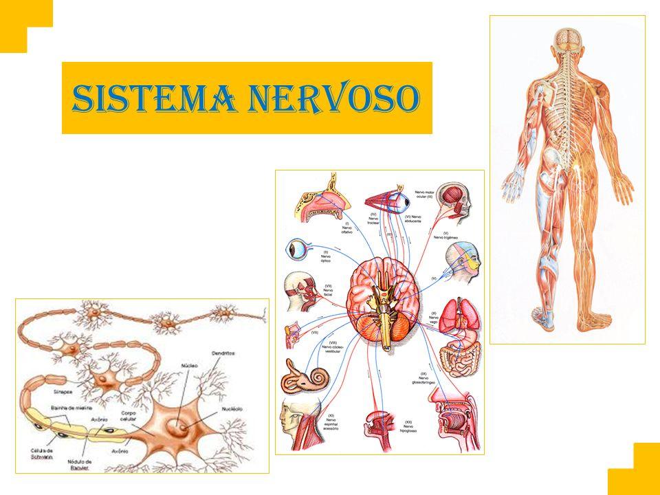 Responsável pela maioria das funções de controle de um organismo, coordenando e regulando as atividades corporais.