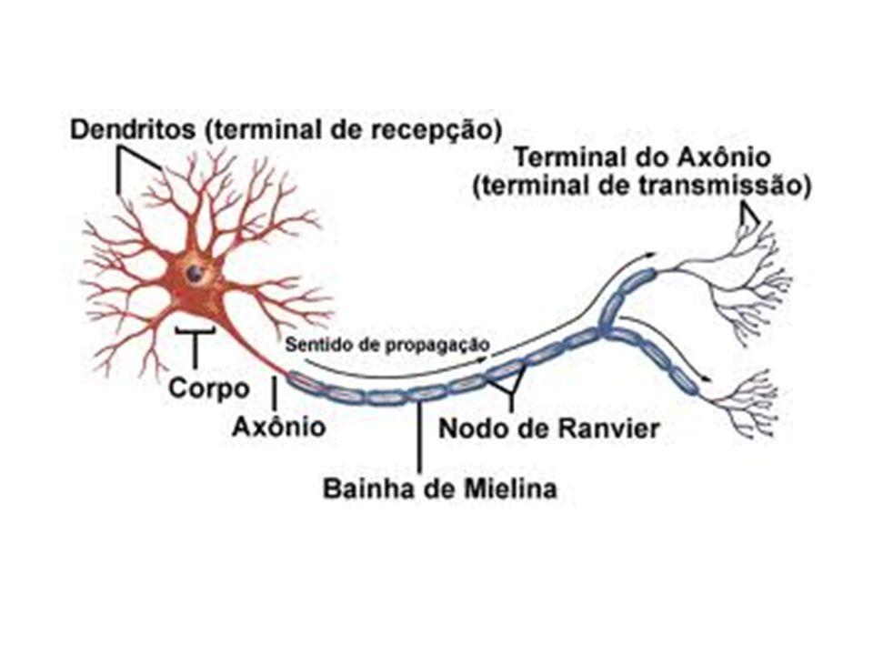 DIVISÃO DO SISTEMA NERVOSO Sistema Nervoso Central (SNC): -Encéfalo (cérebro, cerebelo, ponte, tálamo, hipotálamo e bulbo) -Medula espinhal (cordão que passa pelo canal vertebral- 40cm de comp.) Sistema Nervoso Periférico (SNP): -Nervos (prolongamentos de vários neurônios envolvidos por uma capa de tecido conjuntivo) -Gânglios (nódulos ou dilatações dos nervos, onde ficam os corpos celulares-ponto de informação dos neurônios) -Terminações Nervosas (porção localizada na porção final do nervo, com função de contatar nervos periféricos).