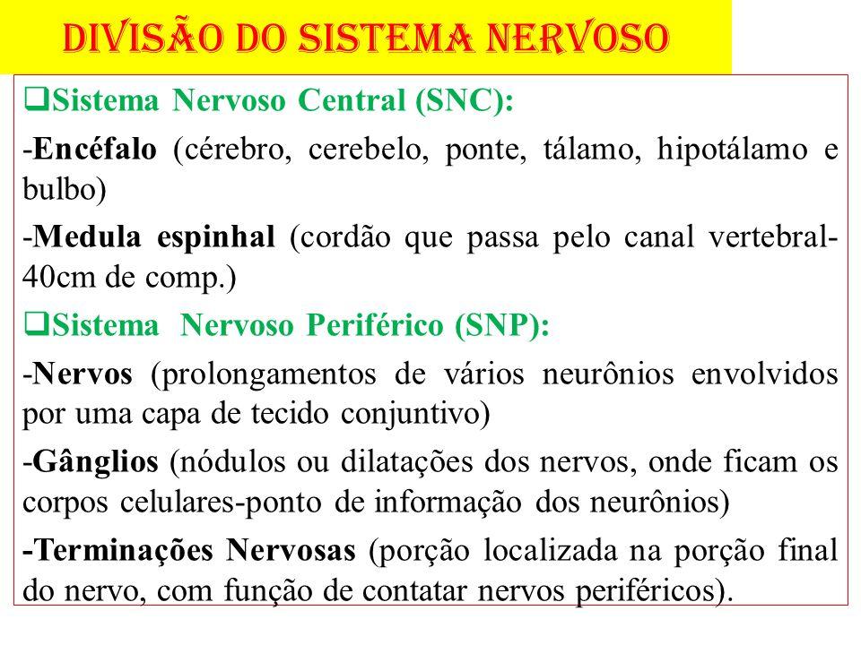 DIVISÃO DO SISTEMA NERVOSO Sistema Nervoso Central (SNC): -Encéfalo (cérebro, cerebelo, ponte, tálamo, hipotálamo e bulbo) -Medula espinhal (cordão qu