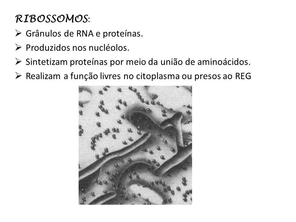RIBOSSOMOS : Grânulos de RNA e proteínas. Produzidos nos nucléolos. Sintetizam proteínas por meio da união de aminoácidos. Realizam a função livres no