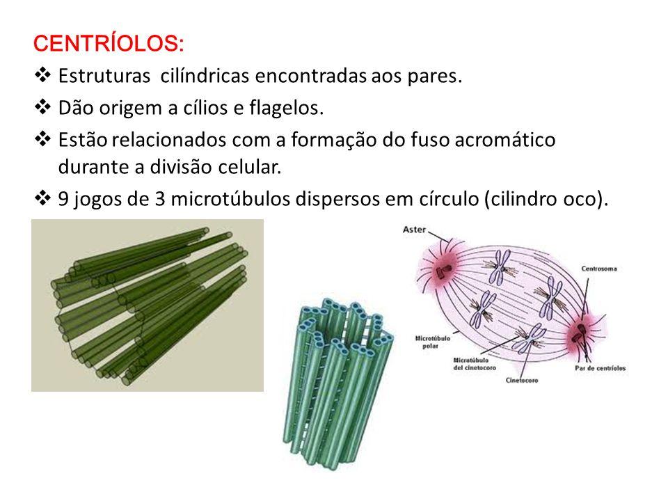 CENTRÍOLOS: Estruturas cilíndricas encontradas aos pares. Dão origem a cílios e flagelos. Estão relacionados com a formação do fuso acromático durante