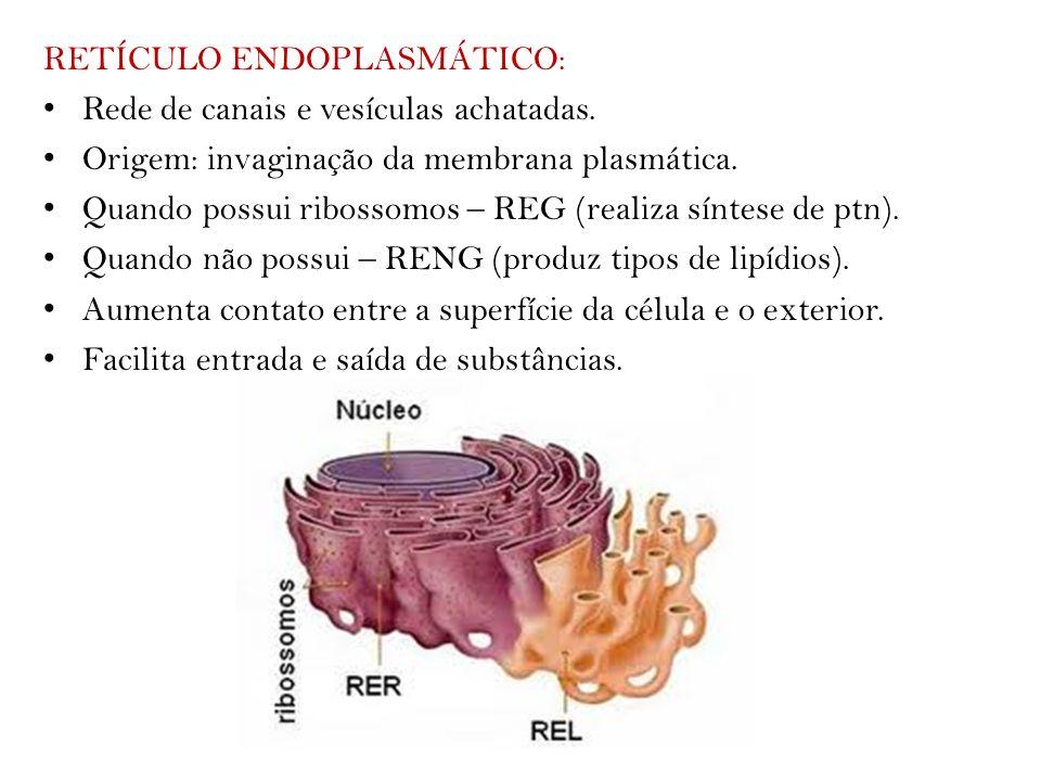 RETÍCULO ENDOPLASMÁTICO: Rede de canais e vesículas achatadas. Origem: invaginação da membrana plasmática. Quando possui ribossomos – REG (realiza sín