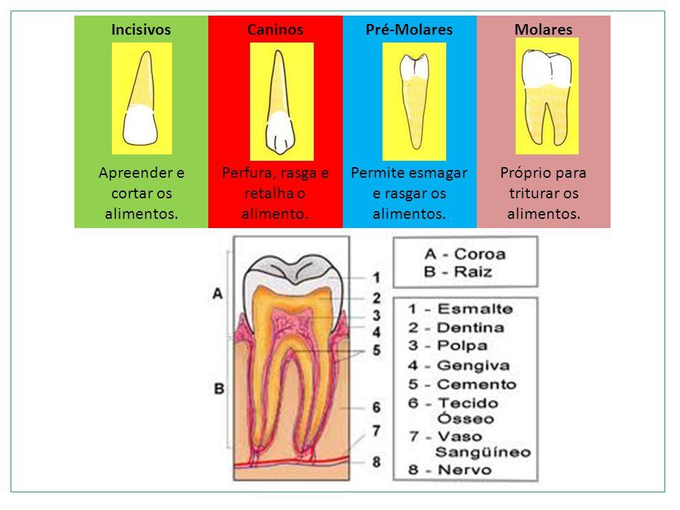 ESÔFAGO ESTÔMAGO Capacidade= + de 2l de alimento Parede Interna: mucosa com glândulas-suco gástrico – favorece ação de enzimas (1,5l/dia) A pepsina é uma das enzimas que digere proteínas peptídeos Produto final: papinha diluída - quimo Tubo de paredes lisas + de 25cm de comprimento Impulsiona o bolo alimentar Pelo movimento peristáltico
