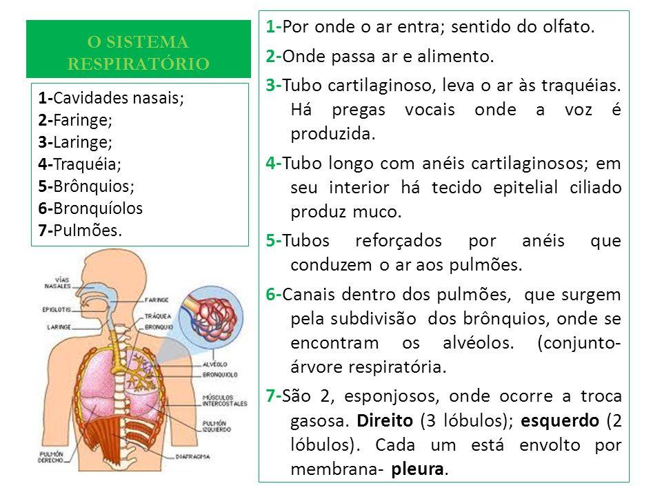 O SISTEMA RESPIRATÓRIO 1-Por onde o ar entra; sentido do olfato. 2-Onde passa ar e alimento. 3-Tubo cartilaginoso, leva o ar às traquéias. Há pregas v