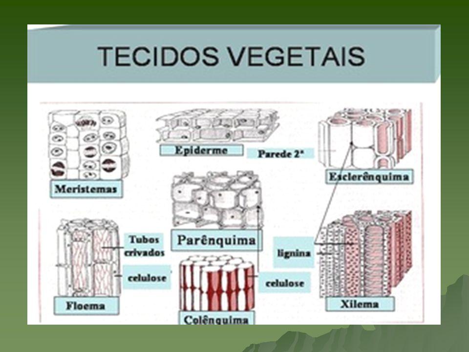 Meristemas Localização : gemas do caule (apicais e laterais), zona lisa da raiz, bordos foliares e embrião Localização : gemas do caule (apicais e laterais), zona lisa da raiz, bordos foliares e embrião Características : células cúbicas, com paredes delgadas, citosol abundante, RNP alta, elevada taxa de mitoses e os vacúolos podem ser pequenos e numerosos ou ausentes Características : células cúbicas, com paredes delgadas, citosol abundante, RNP alta, elevada taxa de mitoses e os vacúolos podem ser pequenos e numerosos ou ausentes