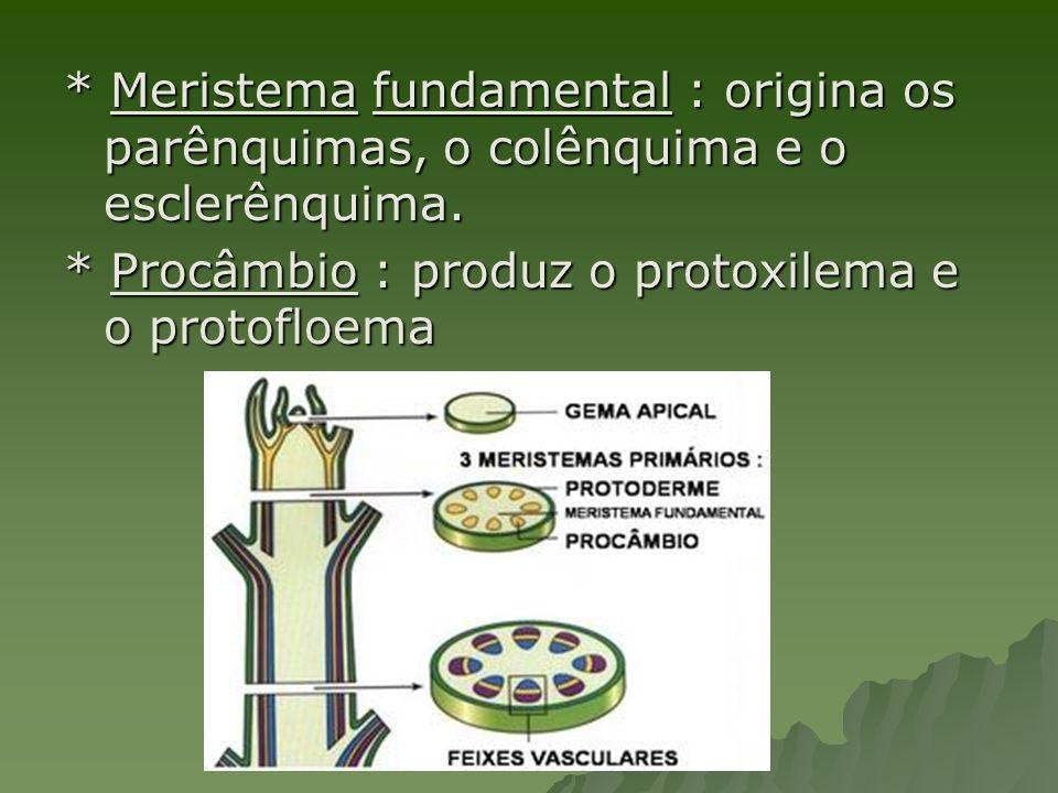 * Meristema fundamental : origina os parênquimas, o colênquima e o esclerênquima. * Procâmbio : produz o protoxilema e o protofloema